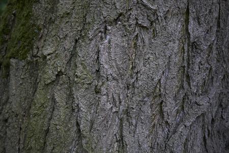 Styphnolobium japonicum bark