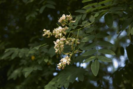 Styphnolobium japonicum plant