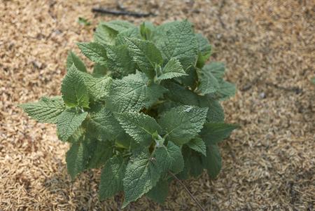 Salvia glutinosa plant