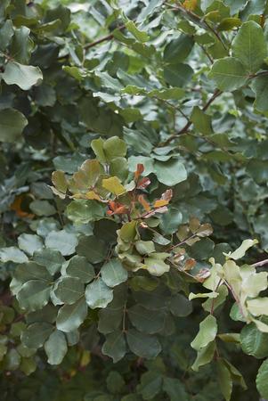 Ceratonia siliqua plant 版權商用圖片
