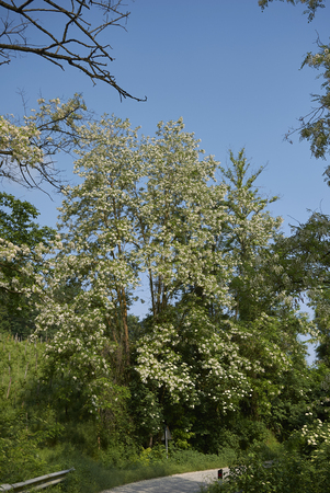 Robinia pseudoacacia blossom