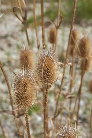 Dipsacus fullonum plant