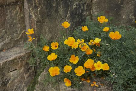Eschscholzia californica plant