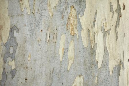 Eucalyptus aggregata bark