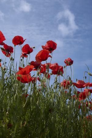 red flowers of Papaver rhoeas Stock Photo