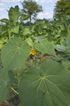 Abutilon theophrasti plant Stok Fotoğraf
