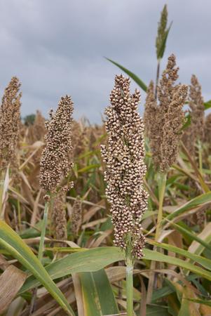 Sorghum bicolor crop Stockfoto