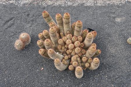 Mammillaria plant