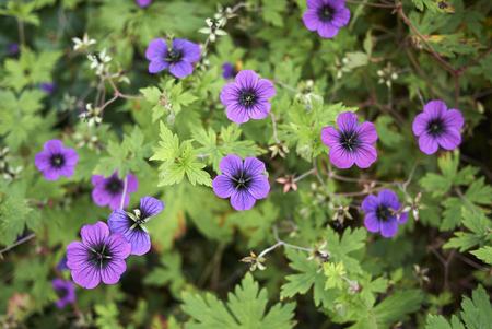 Geranium macrorrhizum plant