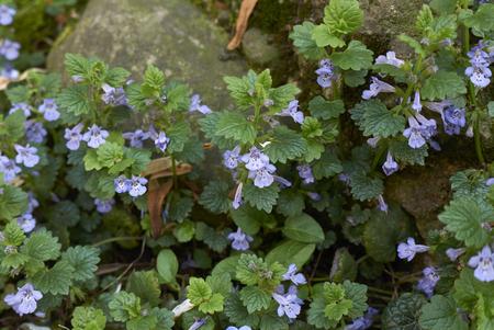 Glechoma hederacea plant