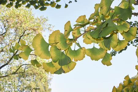 Ginkgo biloba leaves turning to yellow in autumn Stok Fotoğraf