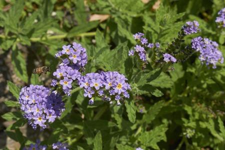 Heliotropium amplexicaule plant