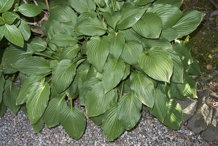 Hosta plant closeup Stock Photo