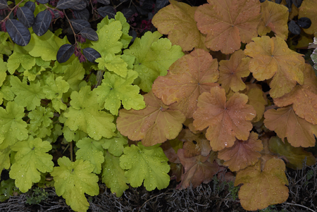 Heuchera plant closeup