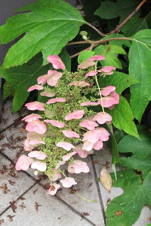 Hydrangea quercifolia plant