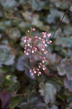 Heuchera plant closeup Imagens