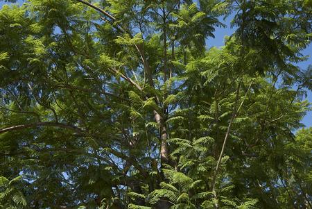 Jacaranda mimosifolia tree Banco de Imagens