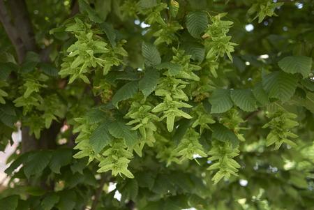 Carpinus betulus close up Reklamní fotografie