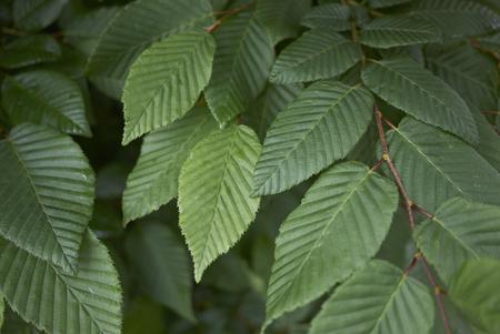 Carpinus betulus close up