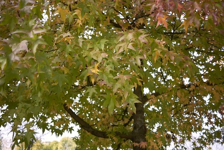 multicolored foliage of Liquidambar styraciflua tree