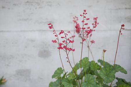 Heuchera sanguinea in a flower pot Reklamní fotografie