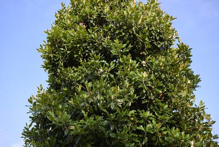 Magnolia grandiflora blossom