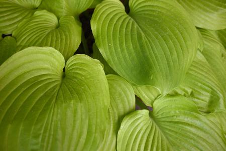 Hosta textured foliage