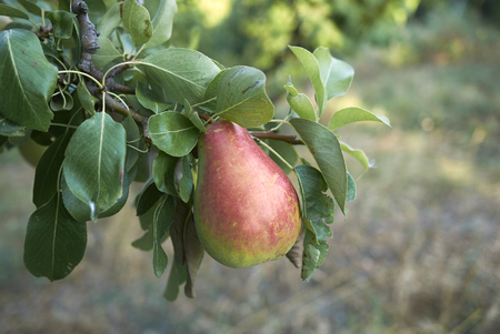 Pyrus communis branch with ripe pears Standard-Bild