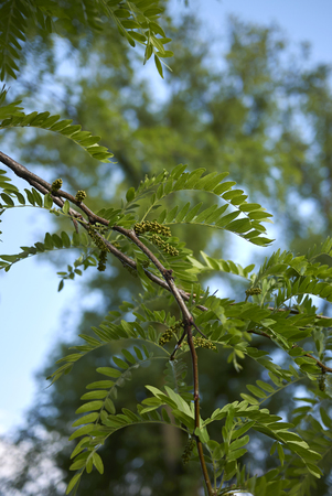inflorescence of Gleditsia triacanthos tree in spring