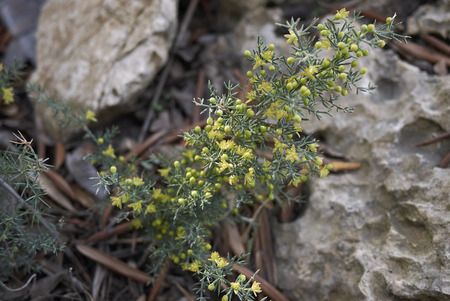 Asparagus acutifolius branch with flowers 免版税图像