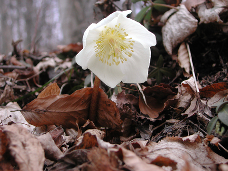 Helleborus niger blooming in winter