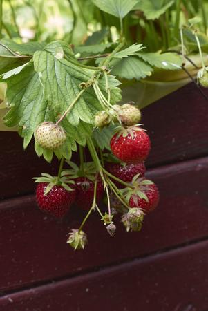 red fresh strawberries Stock Photo