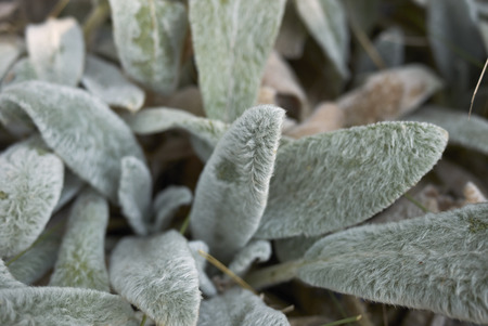Stachys byzantina leaves close up