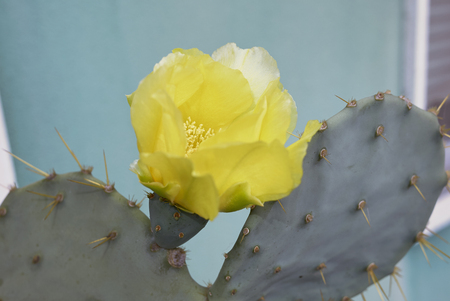 yellow flower of Opuntia engelmannii