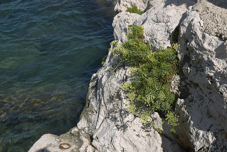 Crithmum maritimum on the rocks Stock Photo - 113597732