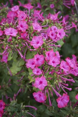 Mirabilis jalapa purple flowers