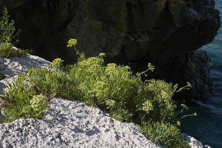 Crithmum maritimum on the rocks
