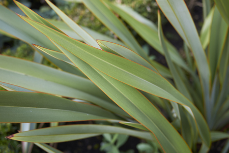 Phormium tenax fresh leaves