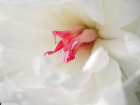 Paeonia suffruticosa white and pink flower