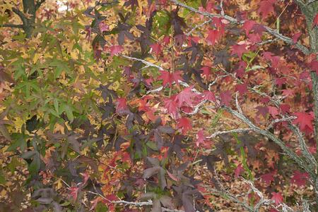 Liquidambar styraciflua multicolored foliage in autumn