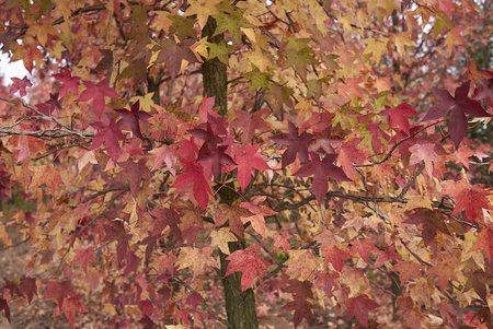 Liquidambar styraciflua multicolored foliage in autumn