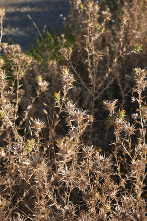 Carthamus lanatus dry plants Stock Photo