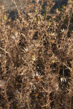 Carthamus lanatus dry plants