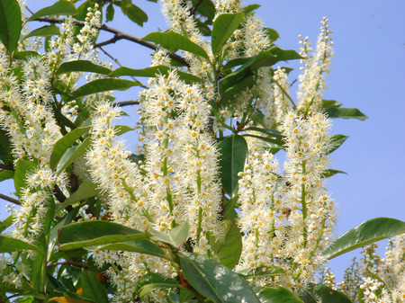 white blossom of Prunus laurocerasus shrub