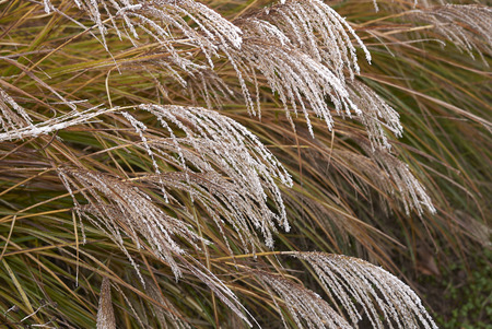 Miscanthus sinensis with frost 免版税图像