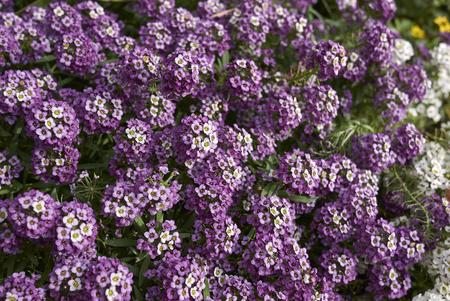 Lobularia maritima purple blossom