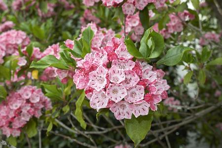Kalmia latifolia plant 版權商用圖片