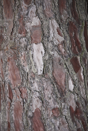 Pinus pinaster bark close up