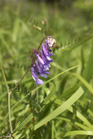 purple flowers of Vicia cracca