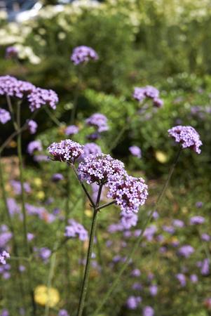 Verbena bonariensis purple flower Stock Photo